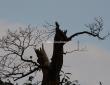 Raven, Greenwich