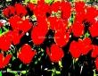 Sunkissed Tulips