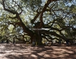Angel Oak,Charleston