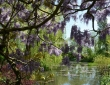 The Pond Through Wisteria