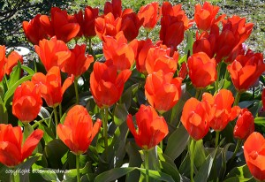 Sunkissed Tulips