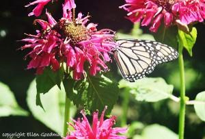 ButterflyAndBeeBalm